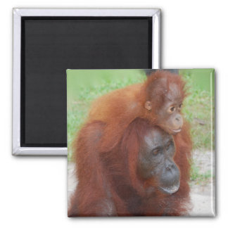 Orangutan Mother and Baby on Island of Borneo Square Magnet
