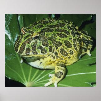 Ornate Horned Frog, (Ceratophrys ornata), Poster
