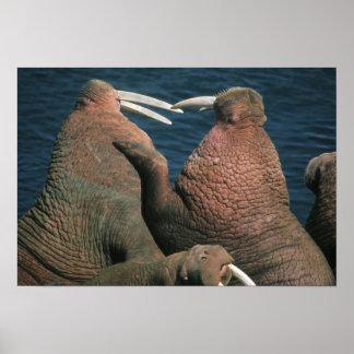 Pacific Walrus Odobenus rosmarus) Males Poster