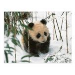 Panda cub on snow, Wolong, Sichuan, China 2 Postcard