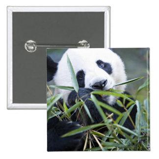 Panda eating bamboo shoots Alluropoda 15 Cm Square Badge