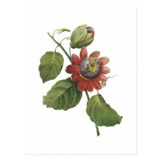 passion flower(Passiflora alata) by Redouté Postcard