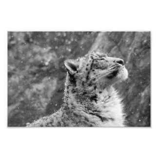 Peaceful Snow Leopard Photo Print
