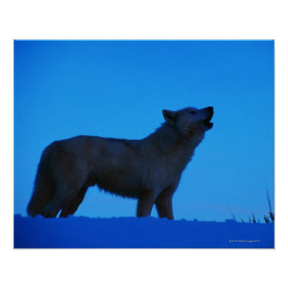Photo, white wolf howling at night, Color, High Poster