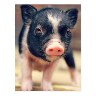 Piebald Pig puppy for Pig Lovers Postcard