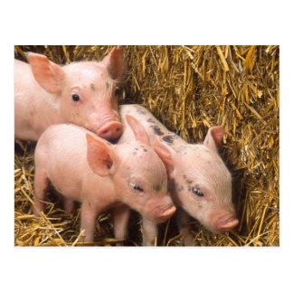 Piglets Postcard