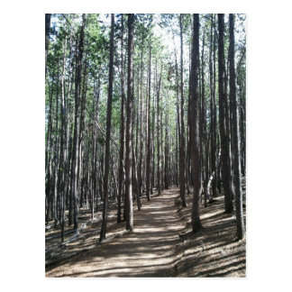 Pine Forest Trail, Conifer, CO Postcard