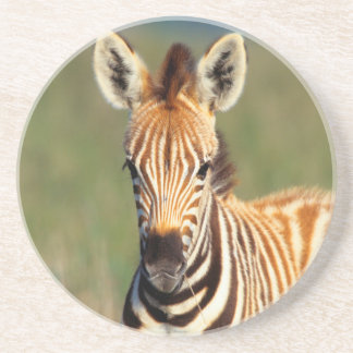 Plains Zebra (Equus Quagga) Foal Portrait Coaster