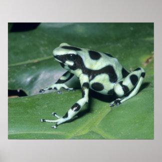 Poison Dart Frog, (Dendrobates auratus) Cahuita Poster