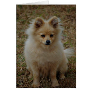 Pomeranian dog cute dog breed small dog toy dog greeting card