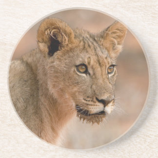 Portrait Of A Young Male Lion (Panthera Leo) Beverage Coasters