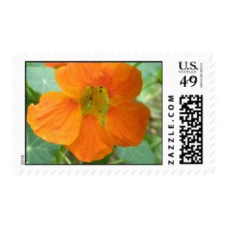 Pretty Orange Nasturtium Flower Postage Stamps