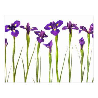 Purple irises isolated on a white background postcard