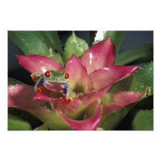 Red-eyed tree frog Agalychnis callidryas) Photo