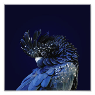 Red-Tailed Black Cockatoo in Blue Photo Art