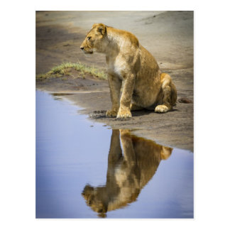 Reflection of a Lioness Postcard