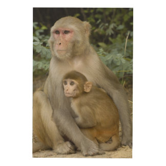 Rhesus Macaques Macaca mulatta) mother & baby Wood Canvas