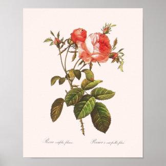 Rosa Centifolia Foliacea Poster