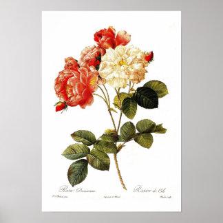 Rosa damascena celsiana poster
