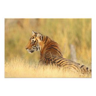 Royal Bengal Tiger sitting outside grassland, 2 Photograph