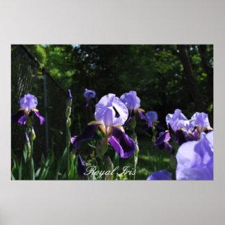 Royal Iris Poster