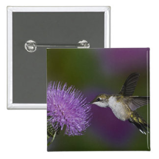Ruby-throated hummingbird in flight at thistle 15 cm square badge