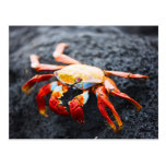 Sally lightfoot crab on a black lava rock postcard