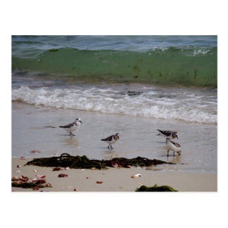 Sand pipers postcard