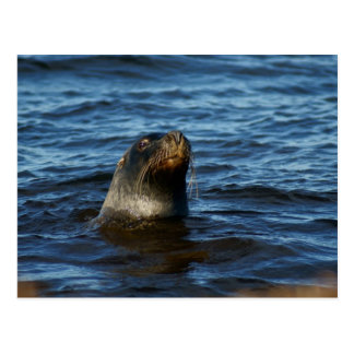 Sea Lion Postcard