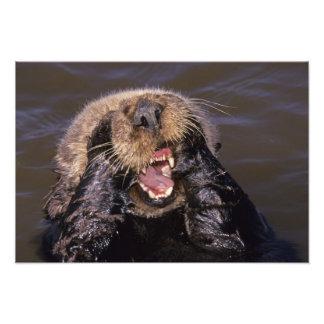 Sea Otters, Enhydra lutris 2 Photograph