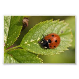 Seven-spot Ladybird Photo Print