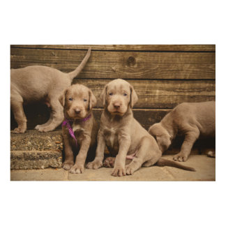 Slovakian Rough Haired Pointer Puppies Wood Canvases