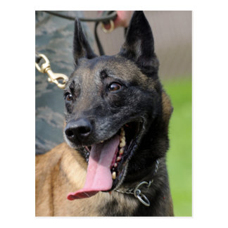 Smiling Belgian Malinois Dog Postcard