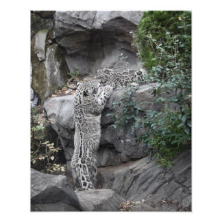 Snow Leopard Mother and Cub Photo Print