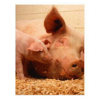 Sow and Piglets Postcard