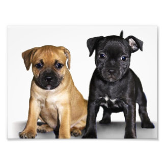Staffordshire bull terrier puppies photo