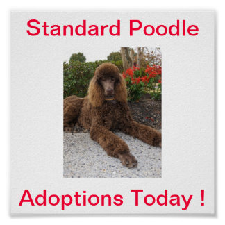 Standard Poodle Dog Adoptions Today Sign Poster