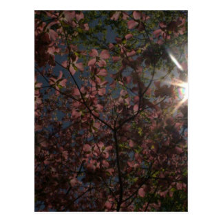sun star through a tree with pink flowers postcard