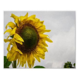 """Sunflower """"Bowing to the Rains"""" Poster"""
