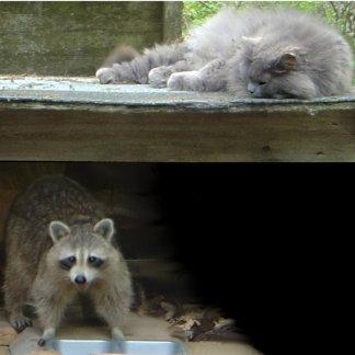 Raccoon and Cat photo