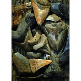 Miocene Shark Teeth and Fossils