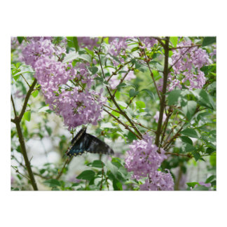 Swallowtail Butterfly and Lilac Bush Poster