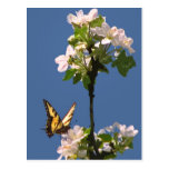 Swallowtail Butterfly on Apple Blossoms Postcard