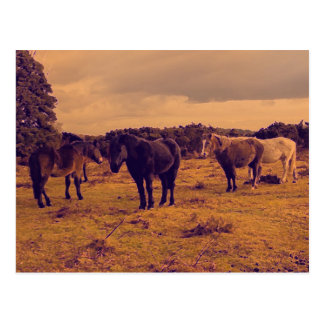 The New Forest Pony's Postcard