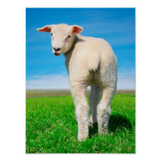 The peaceful sheep. poster
