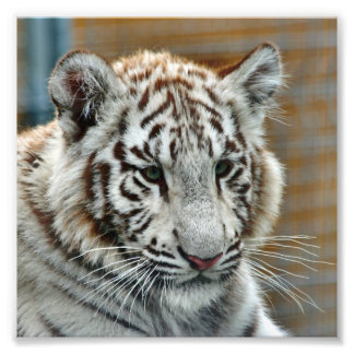 Tiger20151001 Photo Print