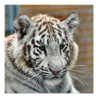 Tiger20151001 Photographic Print