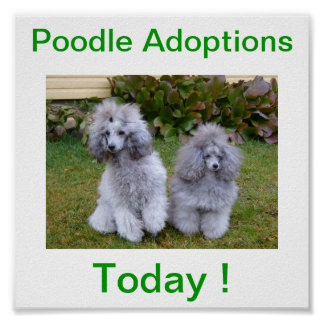Toy Miniature Poodle Dog Adoptions Today Sign Poster