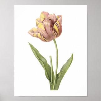 tulip(Tulipa culta) by Redouté Poster