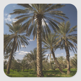 Tunisia, Ksour Area, Ksar Ghilane, date palm 2 Square Sticker
